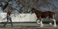 Budweiser - The Clydesdales