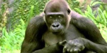 Bud Light - Great Apes
