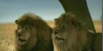 Taco Bell - Lions